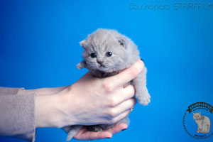 Kittens British Shorthair - 119