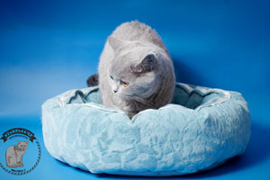 Kittens British Shorthair - 118