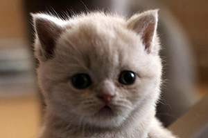 Kittens British Shorthair - 19