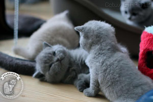 Kittens British Shorthair - 113