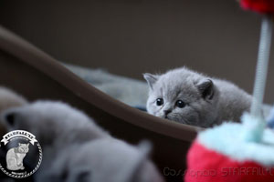 Kittens British Shorthair - 111