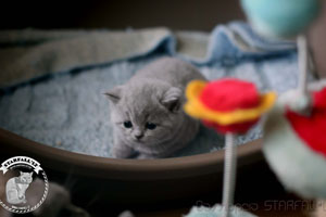 Kittens British Shorthair - 110