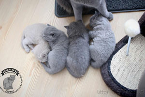 Kittens British Shorthair - 106