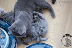 Kittens British Shorthair - 103