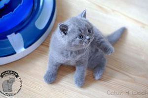Kittens British Shorthair - 97