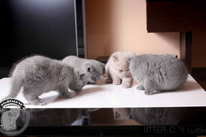 Kittens British Shorthair - 95