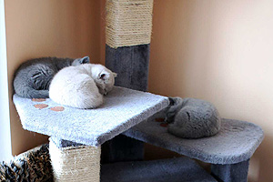 Kittens British Shorthair - 91