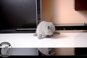 Kittens British Shorthair - 87