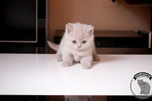 Kittens British Shorthair - 85