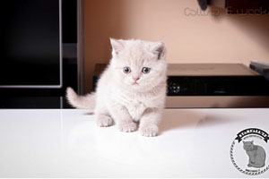 Kittens British Shorthair - 15