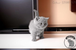 Kittens British Shorthair - 17