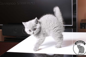 Kittens British Shorthair - 76