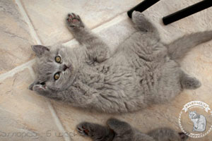 Kittens British Shorthair - 73