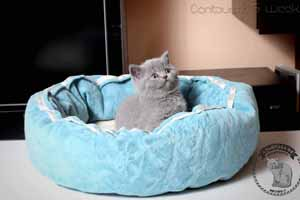 Kittens British Shorthair - 71