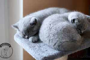 Kittens British Shorthair - 60