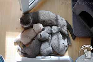 Kittens British Shorthair - 58