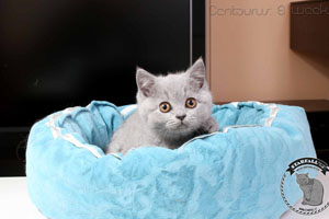 Kittens British Shorthair - 50