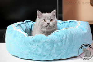 Kittens British Shorthair - 42