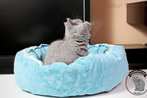 Kittens British Shorthair - 8