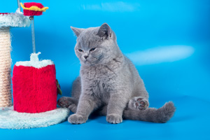 Kittens British Shorthair - 9