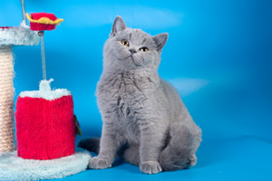 Kittens British Shorthair - 27