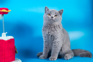 Kittens British Shorthair - 26