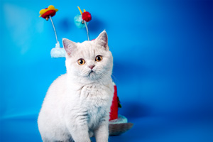 Kittens British Shorthair - 5