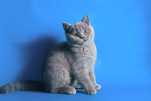 Kittens British Shorthair - 10