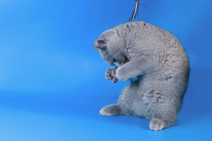 Kittens British Shorthair - 3