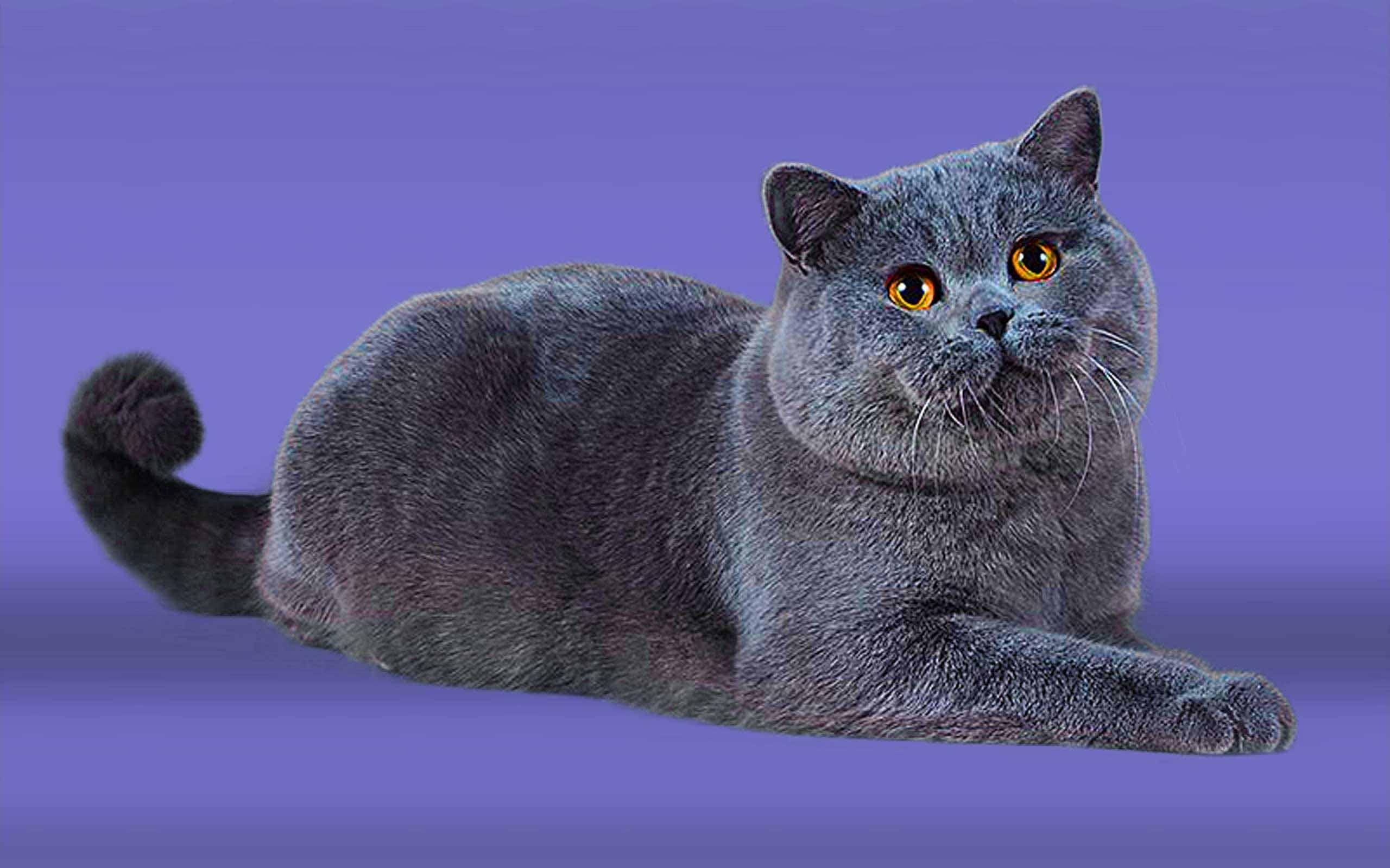 поздравления картинки британские кошки все о них картинки этой