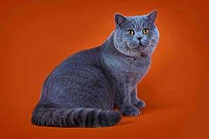 Британские Короткошерстные - Шоколадные Коты