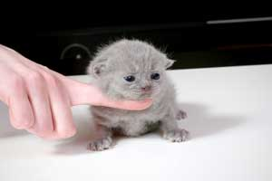 Kittens British Shorthair - 156
