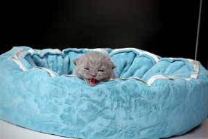 Kittens British Shorthair - 38