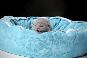 Kittens British Shorthair - 150