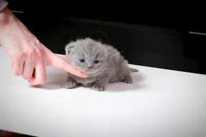 Kittens British Shorthair - 145