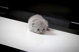 Kittens British Shorthair - 142