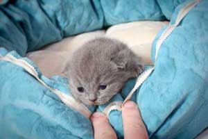Kittens British Shorthair - 141