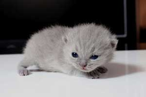 Kittens British Shorthair - 139