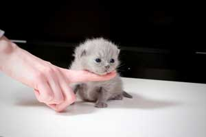 Kittens British Shorthair - 137