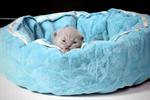 Kittens British Shorthair - 135