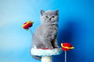 Kittens British Shorthair - 133