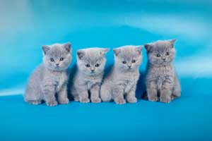 Kittens British Shorthair - 132