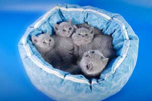 Kittens British Shorthair - 130