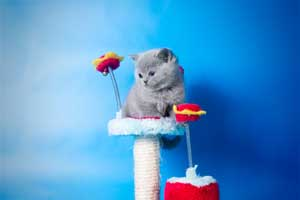 Kittens British Shorthair - 22