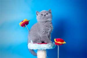 Kittens British Shorthair - 126