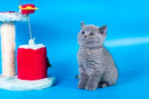 Kittens British Shorthair - 117