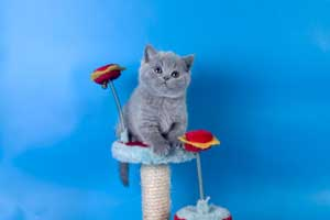Kittens British Shorthair - 116
