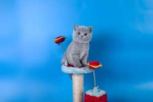Kittens British Shorthair - 115