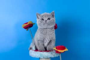 Kittens British Shorthair - 114