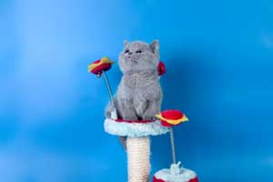 Kittens British Shorthair - 112